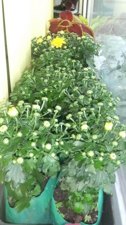 Выращивание хризантем семенами 71