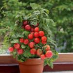 -и-аккуратный-Красный-Sweet-N-Neat-Red-e1433771679445