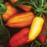 0236-feher-ozon-paprika-pepper