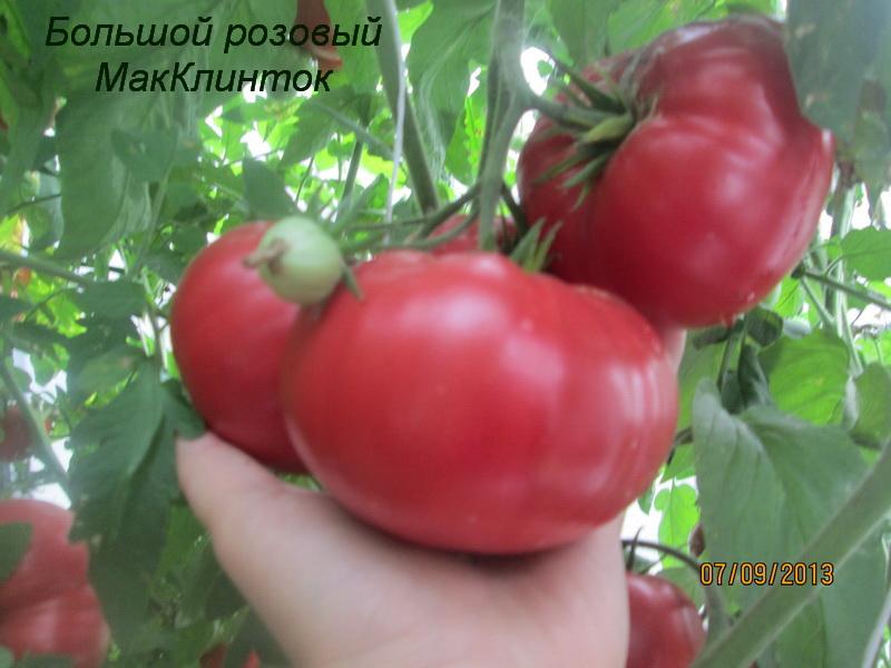 Высокорослые крупноплодные сорта