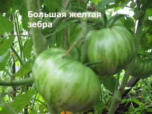Большая желтая зебра зеленые плоды