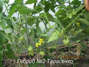Гибрид №2 Тарасенко6