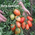 Дуся красная1