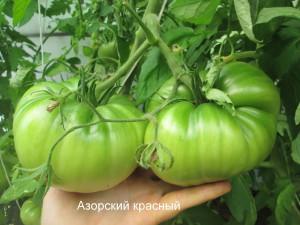 азорский красный01