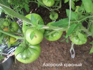 азорский красный25