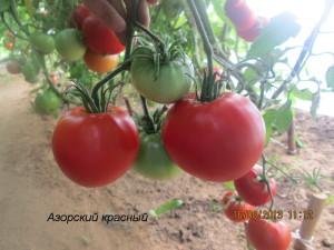 азорский красный6