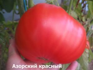 азорский красный61