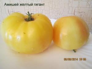 амишей желтый гигант