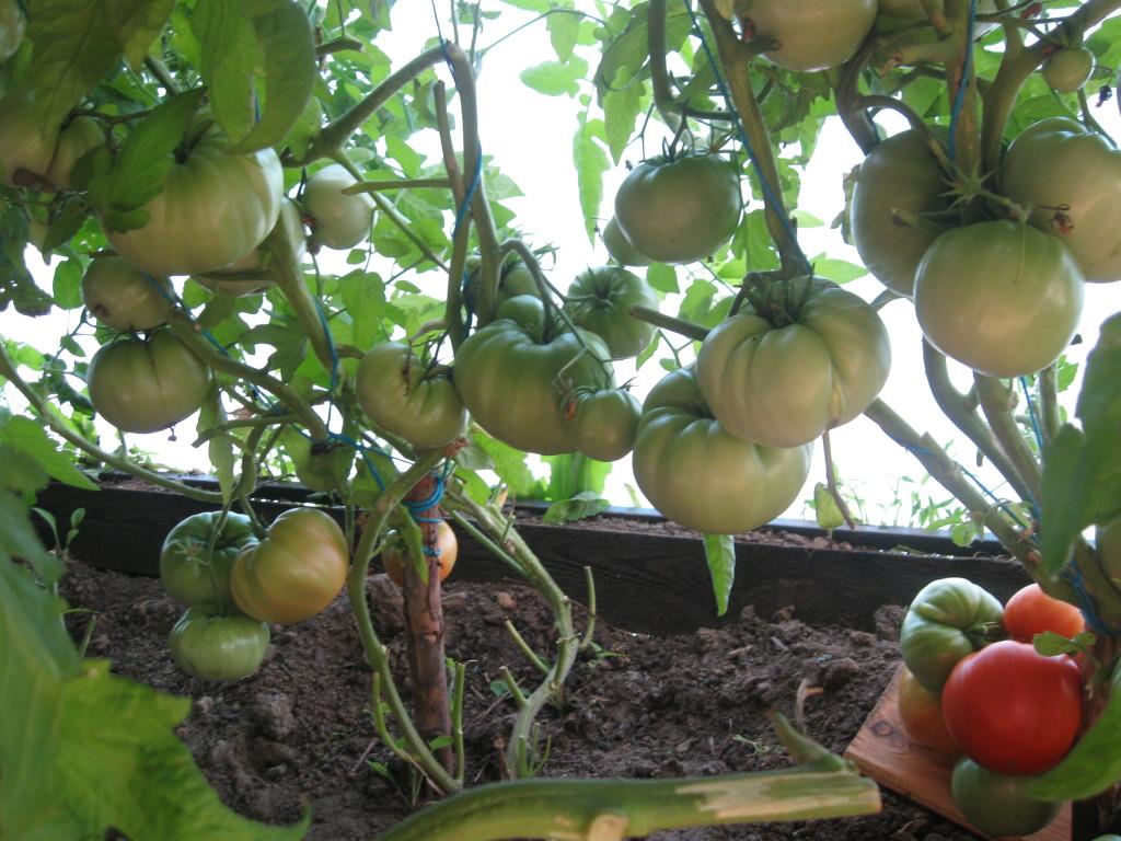 Сорт томата бабушкин подарок отзывы 11
