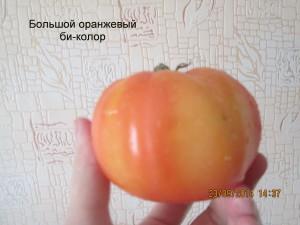 большой оранжевый би-колор
