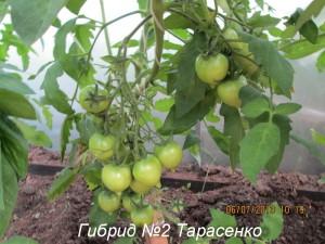 гибрид 2 тарасенко1