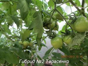 гибрид 2 тарасенко5