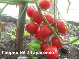 гибрид 2 тарасенко7