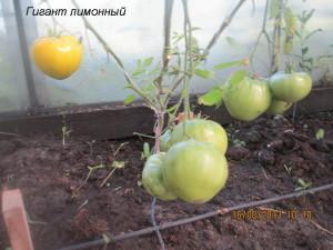 гигант лимонный1