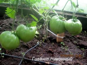 гигант лимонный8