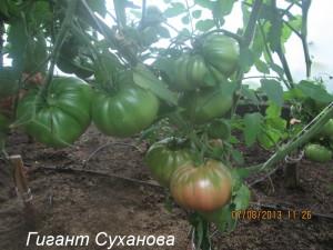 гигант суханова9