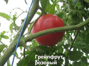грейпфрут розовый21