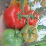 грик домата10