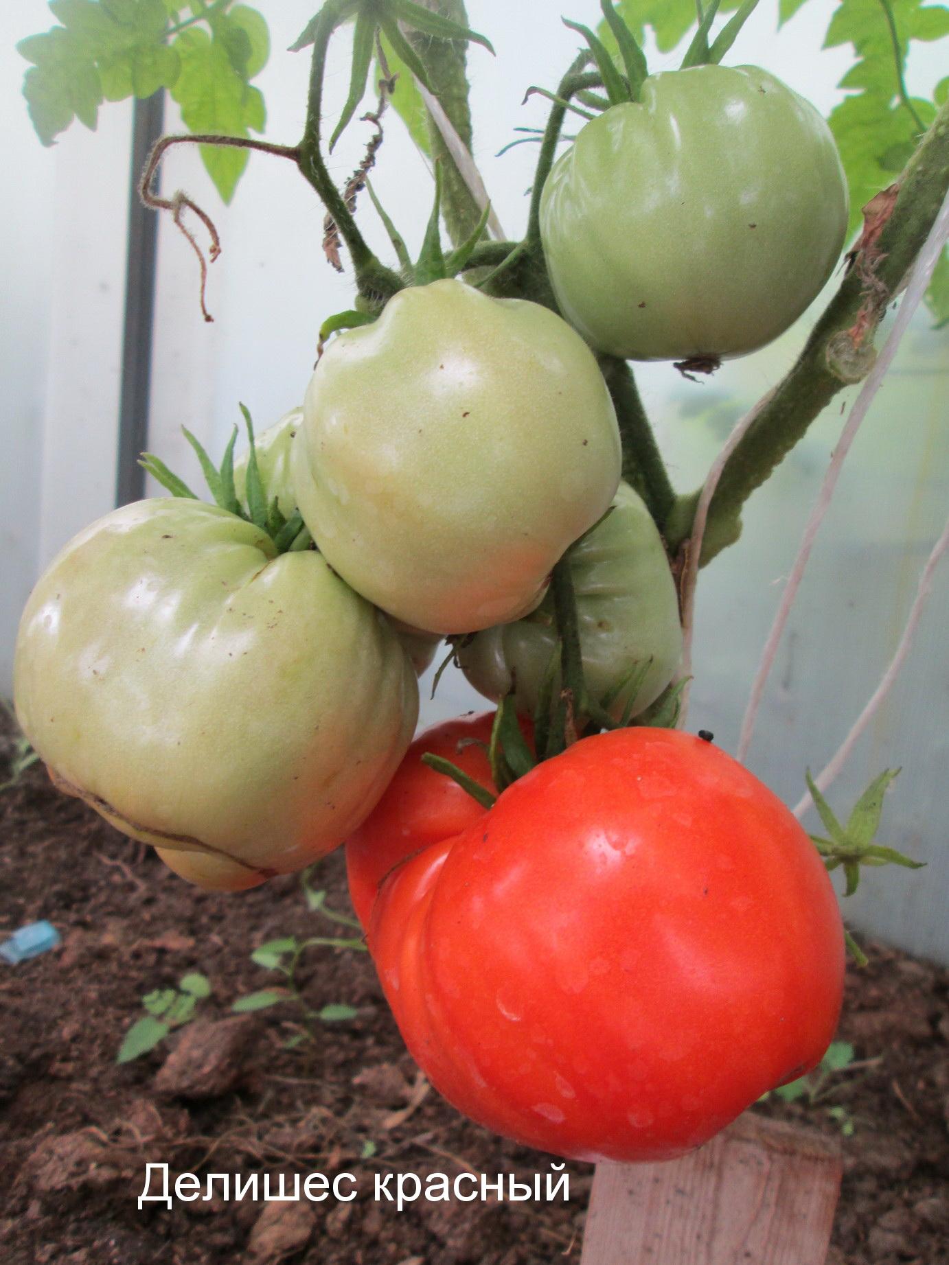 Сорт делишес томат