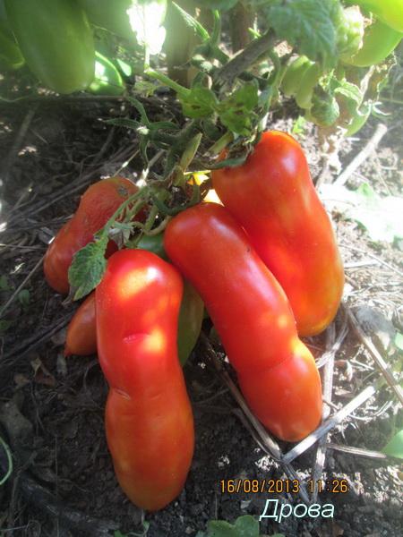 Новые сорта томатов на 2019 год