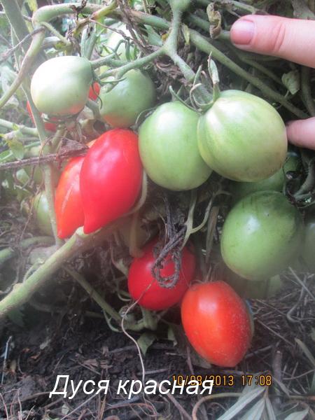 фото томаты дуся