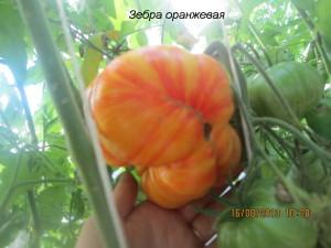 зебра оранжевая2