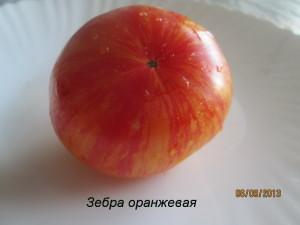 зебра оранжевая8