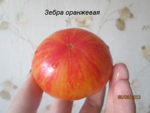 зебра оранжевая91