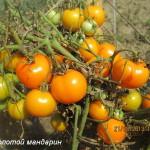 золотой мандарин1