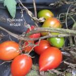 красная ягода1