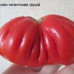 кунео гигнатская груша
