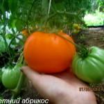 летний абрикос2