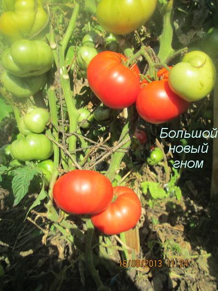 """Сорта серии """"Проект Гном томатный"""" (Dwarf Tomato Project)"""