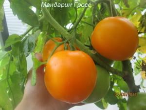 мандарин гросс68