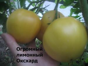 огромный лимонный Оксхард
