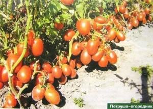 петруша-огородник
