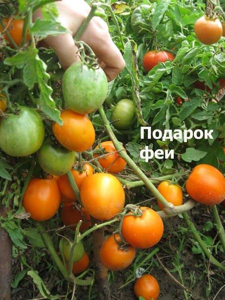 Сорт помидор подарок коммерсанта 55
