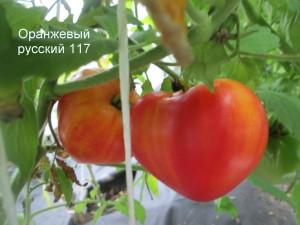 4оранжевый русский 117