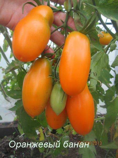 Томат Оранжевый банан: отзывы, фото, урожайность