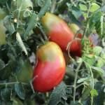 tomat_soloha-500x375_0