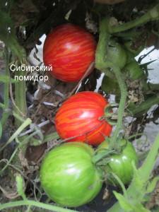 1сибирский помидор (1)