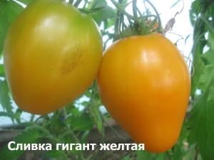1сливка гигант желтая (9)