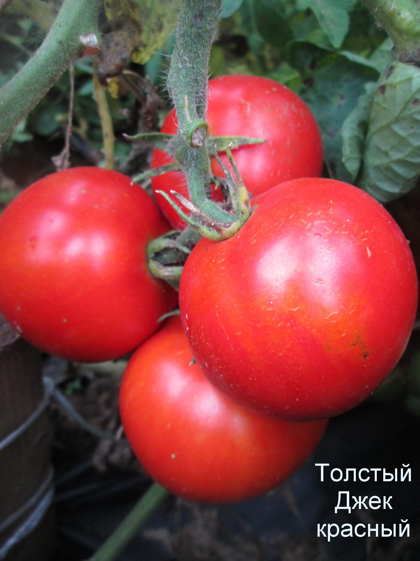 Семена почтой Томат Ямал отзывы 81