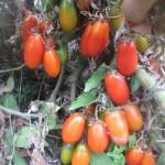 1французский гроздевой (2)