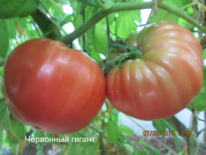 1червонный гигант (4)