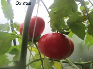 1эх лим (1)