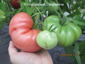 1югославский сенкевича