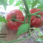 2славский розовый (1)