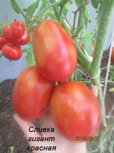 7сливка гигант красная (1)
