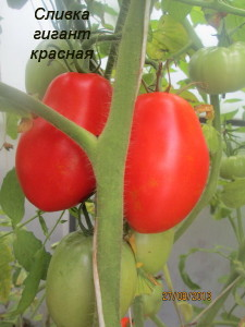 7сливка гигант красная (3)